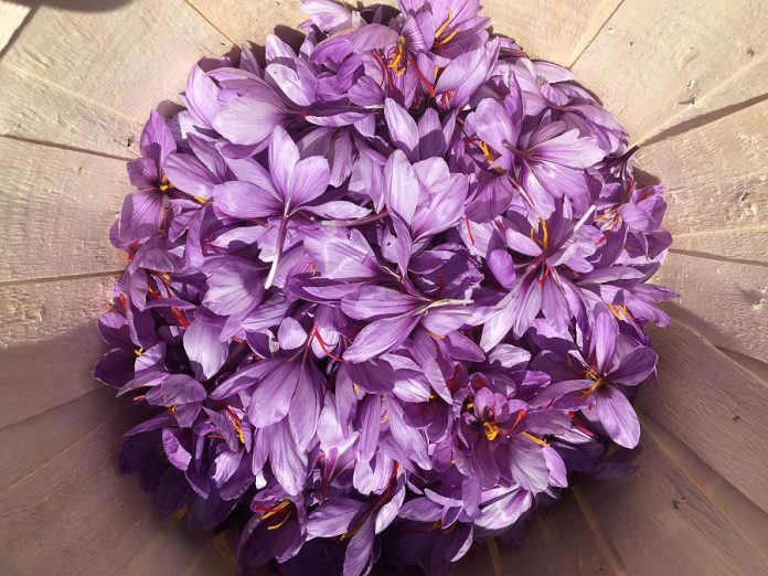 Saffron is made from the pistils of a special variety of crocus. (Photo: True Saffron)