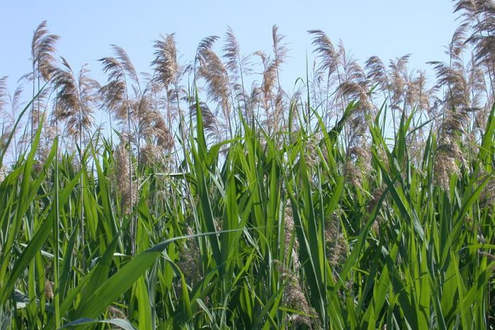 European Common Reed (phragmites australis) is an invasive plant that can make it difficult for slow-moving turtles to access wetlands or waterways where they live. The plant emits toxins from its roots that inhibit the growth of other plant species near it. (Photo: Wasyl Bakowsky)