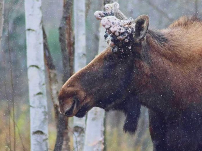 Hershe was originally thought to be female but turned out to be male; hence his name. To prevent the hormone fluctuations of a normal wild moose, Hershe was neutered prior to reaching maturity for his own well-being in captivity. As a result, his antlers never fully developed.  (Photo: Haliburton Forest and Wild Life Reserve Ltd.)