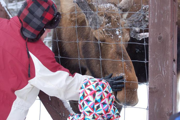 Hershe the Moose has passed away after months of ill health. The eight-year-old bull moose had lived in a four-acre enclosure at Haliburton Forest and Wild Life Reserve since he was an orphaned calf. The friendly moose was a favourite among visitors to the wildlife reserve. (Photo: Haliburton Forest and Wild Life Reserve Ltd.)