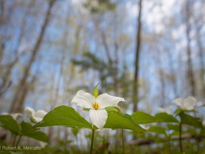 This photo by Robert A. Metcalfe was one of 10 trillium photos by Kawarthas photographers that were featured in our top post on our Instagram for May 2019. (Photo: Robert A. Metcalfe @robert.a.metcalfe / Instagram)