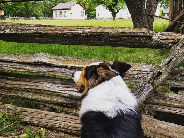 Mirk the border collie waits for the sheep to arrive at Lang Pioneer Village in Keene. A sheep herding demonstration is just one of the many events during the Father's Day Smoke & Steam Show on June 16, 2019. (Photo courtesy of Lang Pioneer Village Museum / Facebook)