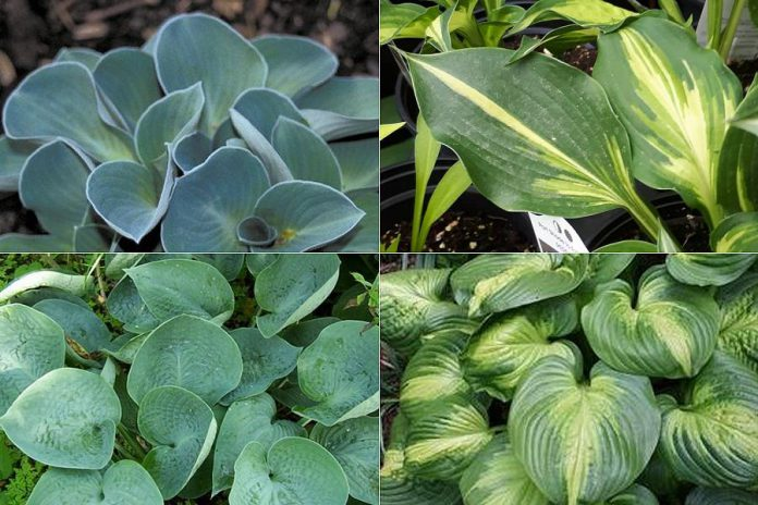 Popular smaller varieties of hosta (clockwise from top left): Blue Mouse Ears Hosta, Lakeside Paisley Print Hosta (hosta of the year), Abiqua Drinking Gourd Hosta, and the Cathedral Windows Hosta. (Photos: Garden Plus)