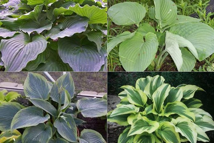 Giant hosta varieties (clockwise from top left): Komodo Dragon, Empress Wu, Wu-La-La, and (for great curb appeal) Montana Aureomsarginata. (Photos: Garden Plus)