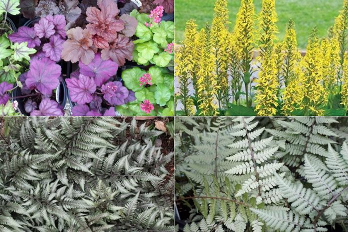 "Fill out your garden with all-season foliage (clockwise from top left): Coral bells, Ligularia ""Little Rocket"", Godzilla Fern, and Ghost Fern. (Photos: Garden Plus)"