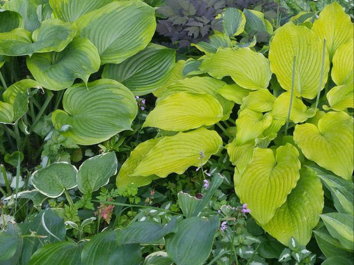 You can still add to your perennial garden in July, especially in part shade: the ideal location for the easy-to-grow perennial hosta. As well as the common green and green-and-white hosta, Gardens Plus has many new varieties with different textures, colours, and leaf shapes and sizes to enhance your garden. (Photo: Garden Plus)