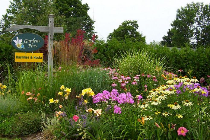 Gardens Plus owner Dawn Golloher is the local queen of easy-care perennials including daylilies and hosta. The garden and greenhouse at Gardens Plus is a great place to visit and get inspired for your own garden expansion. July is a perfect time for a tour, with over 900 daylilies and 600 hosta on display, and more than 200 varieties of hosta for sale. (Photo: Gardens Plus)