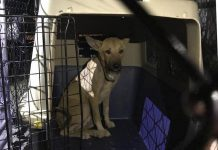 Egyptian rescue dog Layaly was successfully trapped on July 27, 2019 after more than a week after escaping from her foster home near Cavan. Layaly was brought to Canada to receive additional medical treatment for her throat and lymph nodes, which were damaged by a string that had been tied around her neck so long it caused her neck to swell greatly. (Photo: Anette Targowski / Facebook)
