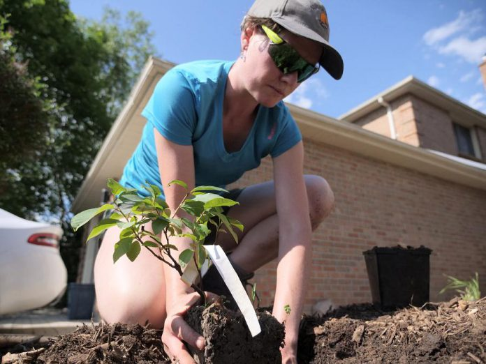 Peterborough GreenUP's Sustainable Urban Neighbourhoods (SUN) program planted more than 2,400 native species of plants in 2018 and 2019. Many of these species have a low-water need and help to alleviate stress on Peterborough's water system during the peak seasons. (Photo: GreenUP)