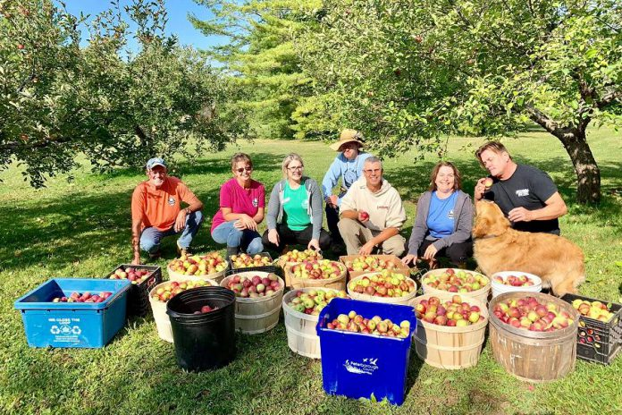 Stephen Elmhirst (right) and team picking apples at Elmhirst's Resort in Keene. The apples were then taken to Kawartha Country Wines for cider processing. (Photo: Elmhirst's Resort / Facebook)