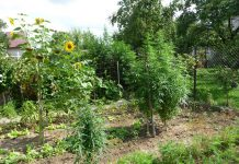 It is legal in Canada to grow up to four cannabis plants for personal use. (Photo: Wikipedia)