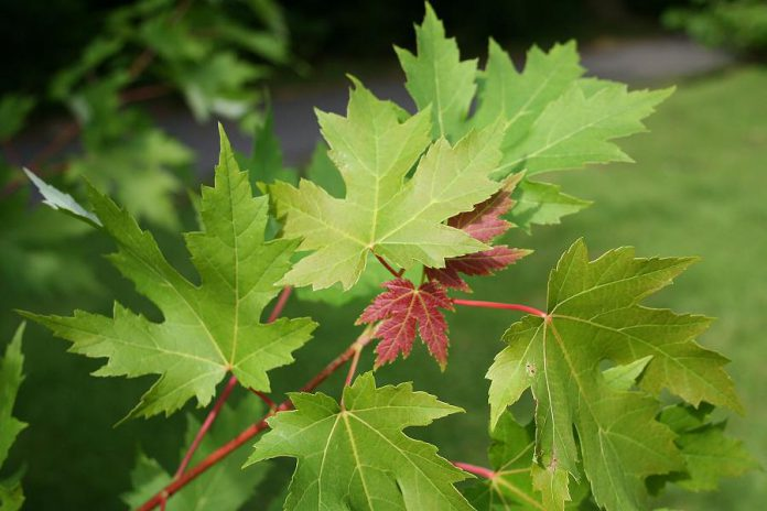 The beautiful leaves of the silver maple (Acer saccarinum), a native species that grows well in moist conditions. (Photo courtesy of GreenUP)