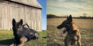 Chase and Isaac of the Peterborough Police Service's Canine Unit are now on Instagram @peterboroughpolicek9. (Photos courtesy of Peterborough Police Service)