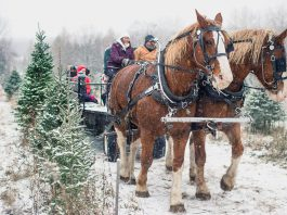Christmas tree farms are open for business in the Kawarthas. Barrett's Tree Farm north of Cobourg is a popular destination for harvesting your own Christmas tree. They are also offering horse-drawn wagon rides on weekends until December 15, 2019. (Photo: Barrett's Tree Farm / Facebook)