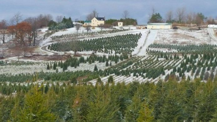 J & D Trees in Colborne offers White Spruce, Balsam Fir, and Fraser Fir.  (Photo: J & D Trees)