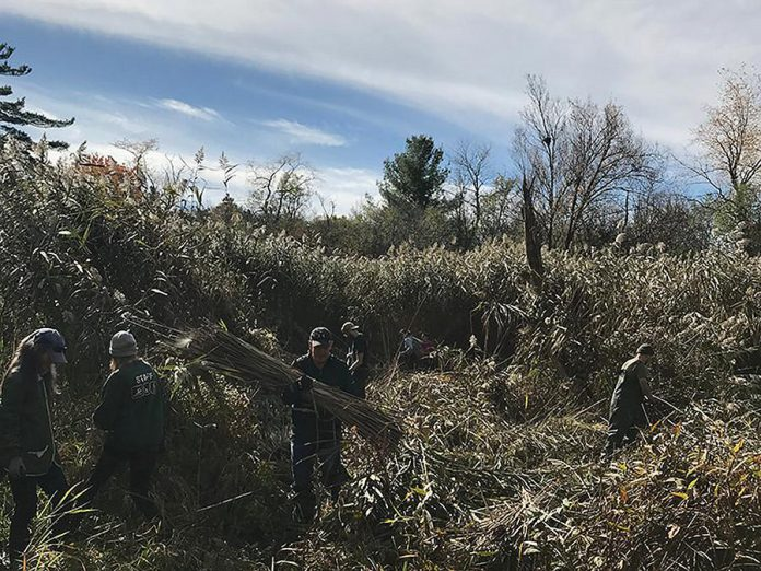 Phragmites being harvested at Thickson[s Woods Land Trust of Durham Region in 2019 for Cole Swanson's 'The Hissing Folly' installation at the Visual Arts Centre of Clarington. (Source: vac.ca / Photo: Jamie McMillan)