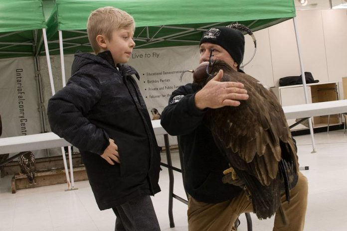 """Hudson Rellinger gets a close-up look at a falcon from the Ontario Falconry Centre at last year's Family Literacy Day. At this year's event, taking place on January 25, 2020 in Peterborough Square, the Ontario Turtle Conservation Centre will offer a live turtle exhibit, reflecting the event's theme """"Once Upon A Turtle"""". (Photo courtesy of Peter Rellinger)"""