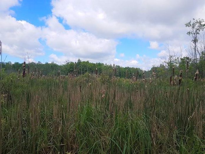 The cattail marsh on the newly protected Fell Wetland property, which contains a portion of a Provincially Significant Wetland -- a designation by the Ontario government for wetlands that have been identified as being the most valuable through a science-based ranking system known as the Ontario Wetland Evaluation System. (Photo courtesy of Kawartha Land Trust)