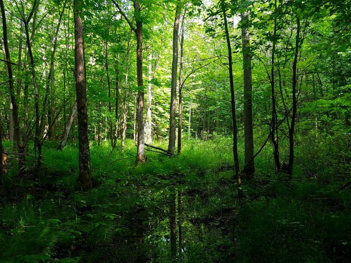 The wetland and forests on the newly protected Fell Wetland property serve as an important corridor for wildlife movement in the area. By linking together the fragmented natural areas near it, the Fell property contributes to the conservation and connectivity of habitats in and around its boundaries. (Photo courtesy of Kawartha Land Trust)