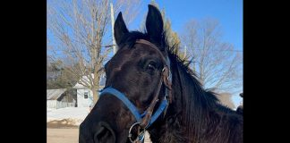 This black gelding horse with a blue halter and western saddle was found the Burleigh Falls area on the afternoon of February 23, 2020. Police are looking for the owners. (Supplied photo)