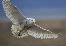 According to research by the National Audubon Society, the snowy owl is very vulnerable to climate change and will lose 93 per cent of its range if global temperatures rise by 3°C. By participating in the 2020 Great Backyard Bird Count, members of the public can help scientists understand where birds are and how their numbers are changing. (Photo: Diane McAllister / GBCC)
