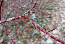 Enjoying the garden does not have to wait until summer. Practicing patience and slowing down to spend time in the garden during winter can teach us about our native plants and wildlife, and help us grow nicer gardens. For example, red osier dogwood is a popular choice to add a touch of red to your garden in winter. (Photo courtesy of GreenUP Ecology Park)