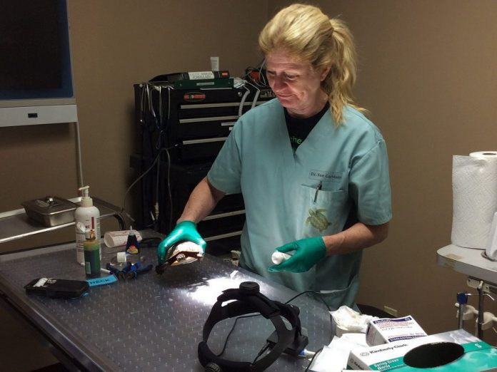 Ontario Turtle Conservation Centre executive and medical director Dr. Sue Carstairs performs surgery on one of the many hundreds of injured turtles admitted to the centre in 2019. Dr. Carstairs has been appointed to the Order of Ontario, the province's highest honour.  (Photo: Ontario Turtle Conservation Centre)