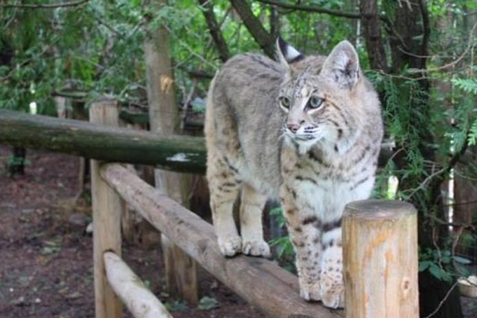 Montana the bobcat at the Riverview Park and Zoo in Peterborough in a 2018 photo. (Photo: Riverview Park & Zoo)