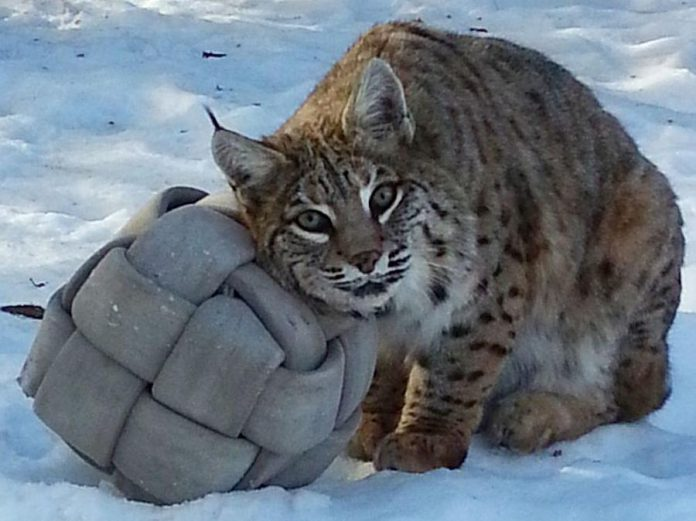 Montana, the female bobcat who has lived at the Riverview Park & Zoo in Peterborough since 2004, has died as a result of complications from end-stage kidney failure. (Photo: Sarah Law / Riverview Park & Zoo)