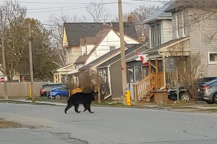 This black bear spotted in the area of Romaine and Monaghan in Peterborough on the morning of April 19, 2020. (Photo via Sarah Nyarota / Facebook)