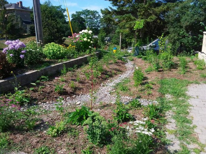 A rain garden on Welsh Street in Peterborough. The native shrubs and trees in the garden have deep-growing roots that absorb the rain and provide habitat for pollinators. Rain gardens are designed with both an inlet and an outlet, often using stone such as pea gravel or river stone. (Photo courtesy of GreenUP)