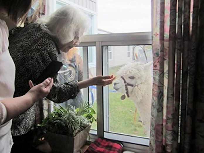 A resident of Extendicare Cobourg greets Obi-Wan Kenobi, an alpaca from Haute Goat in Port Hope. Haute Goat owner Debbie Nightingale brought Obi and his mom Bella to the 69-bed long-term care home to entertain residents and workers. (Photo: Extendicare Cobourg / Facebook)