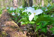 The white trillium (trillium grandiflorum) is Ontario's official floral emblem. Although the trillium is a perennial plant, as a spring ephemeral it's very fragile, which is why picking it is a bad idea. It takes up to 10 years before the plant produces its first bloom, which lasts for around three weeks in the early spring. (Photo: Ontario Parks)
