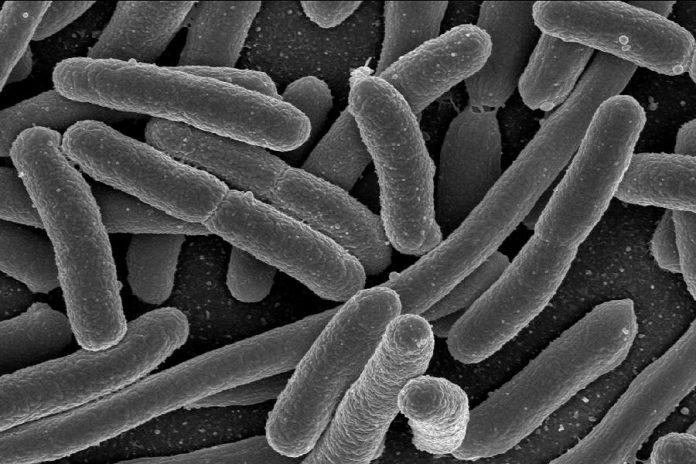 Scanning electron micrograph of Escherchia coli (E. coli) bacteria. (Image: NIAID)