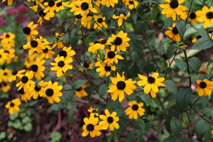 To help reduce water usage outside your home, plant native drought-tolerant plants like this black-eyed Susan. It's a good way to help your garden stay beautiful, even during a drought. (Photo: GreenUP)