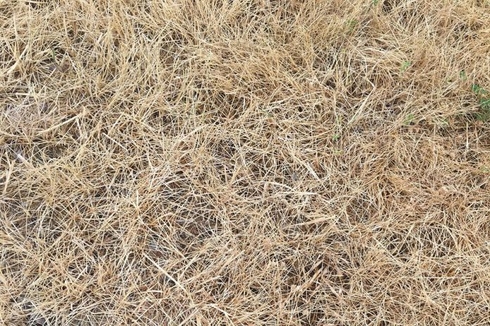 There's no need to water your lawn if it looks like this. It's dormant and, once the rain returns, so too will the green grass. (Photo: Leif Einarson / GreenUP)
