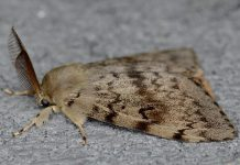 The male gypsy moth is brown with jagged markings on its wings and feathered antenna. Females are white and do not fly. (Photo: Invasive Species Centre)