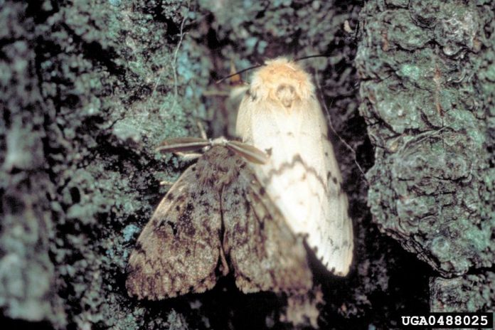 A male and female gypsy moth. (Photo: John H. Ghent / USDA Forest Service)