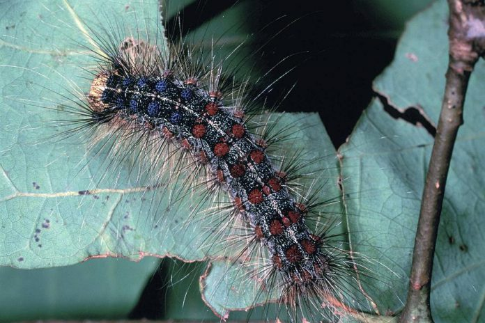 A gypsy moth caterpillar, with its two rows of distinctive blue and red dots. (Photo: J.E. Appleby / U.S. Fish and Wildlife Service)