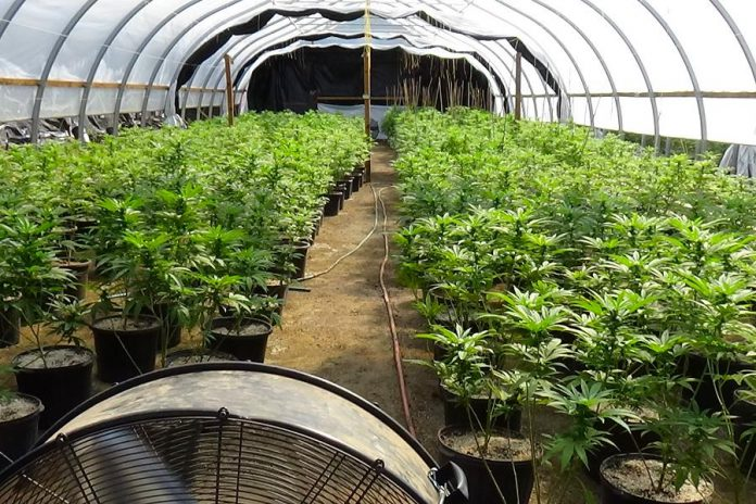 Some of the 3,444 cannabis plants at an illegal cannabis grow op in Cramahe Township in eastern Northumberland County. On August 6, 2020, police arrested and charged three people with violations under the federal Cannabis Act. (Photo: OPP)