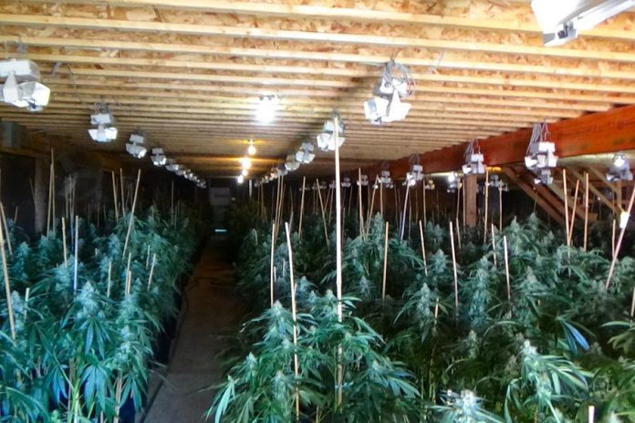 The illegal cannabis grow op was located inside and outside at two adjoining rural properties near Colborne in Cramahe Township in eastern Northumberland County. On August 6, 2020, police seized 3,444 cannabis plants along with 72 pounds of street-ready product and charged two Cramahe Township residents and one Scarborough resident.  (Photo: OPP)