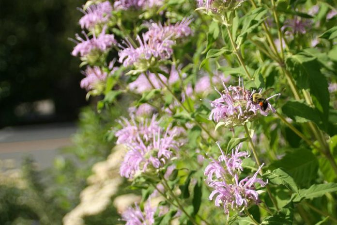 Wild bergamot is an excellent low-maintenance perennial that's perfect for lazy landscaping. They can withstand droughts, are pleasant to look at, and even provide an important food source to pollinators. (Photo: GreenUP)