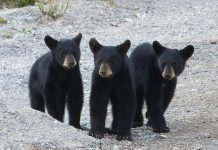 This photo of a triplet of black bears by Cliff Homewood was our top post on Instagram in July 2020. (Photo: Cliff Homewood @kerrybrook / Instagram)