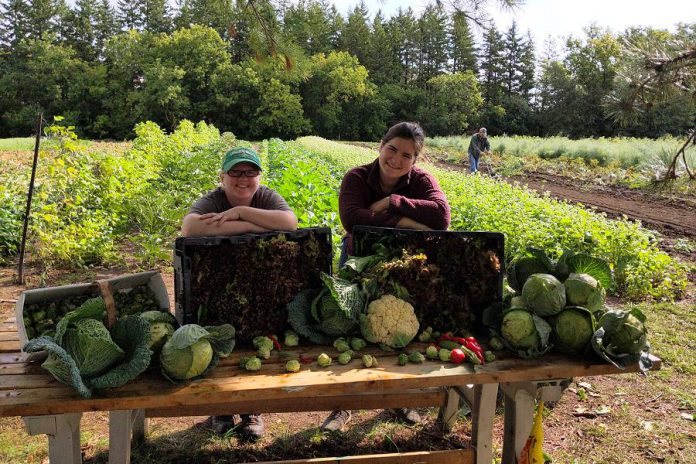 Edwin Binney's Community Garden in Lindsay, an initiative of United Way for the City of Kawartha Lakes, Fleming College, and Crayola Canada, has already harvested and donated 5,944 pounds of produce in 2020 to 10 local food banks and 11 non-profit organizations. (Photo courtesy of United Way CKL)