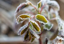 Frost on the leaves of a plant. (Stock photo)