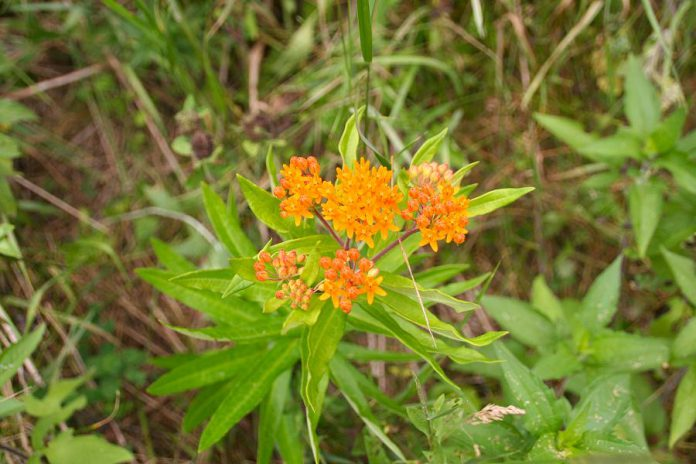 The September 25th planting at Warsaw's Back Dam Park will enhance the visual appeal of the park while improving the quality of the surface water that flows into the Indian River. It will also providing vital habitat to pollinators, with plants such as the butterfly milkweed.  (Photo: GreenUP)