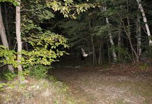 The only freely flying mammals on the planet, bats are nocturnal so they can avoid predators and avoid competing with birds that also eat insects. This may explain why people find them spooky and have long associated them with Halloween. Pictured is a little brown bat (Myotis lucifugus) flying through a local forest. The little brown bat is the most common species of bat in North America and has been most negatively impacted by white-nose syndrome, a fungal disease affecting hibernating bats. The fungus causes the bats to become more active than usual during hibernation and burn up the fat they need to survive the winter. (Photo: Laura Scott)