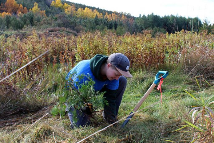 Otonabee Conservation's Kerry Norman plants a white cedar tree at the Harold Town Conservation Area, in the Township of Otonabee South Monaghan just outside of the City of Peterborough, on October 20, 2020. (Photo: Karen Halley / Otonabee Conservation)