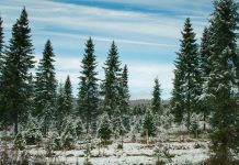 Barrett's Tree Farm is located at 3141 Williamson Road North in Cobourg. It's one of six tree farms in the Kawarthas where you can harvest your own Christmas tree. (Photo: Barrett's Tree Farm)
