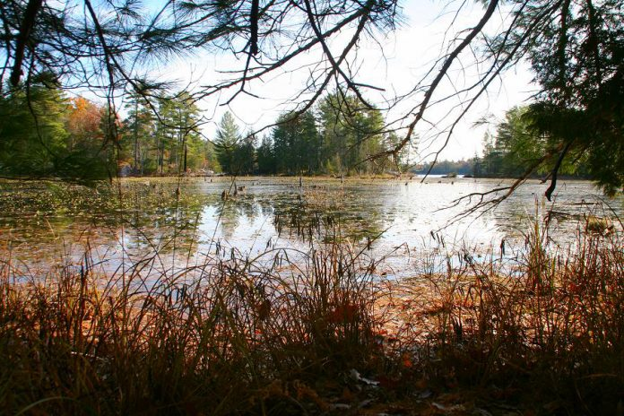 The Christie Bentham Wetland is a provincially significant wetland located just south of Burleigh Falls. Also known as the Clear Lake North Wetland, this property was recently purchased by the Kawartha Land Trust to be protected in perpetuity. Development has already erased more than 70 per cent of the wetlands across southern Ontario. (Photo: Jenn McCallum)